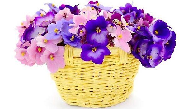 Violetta africana in casa for Violetta africana