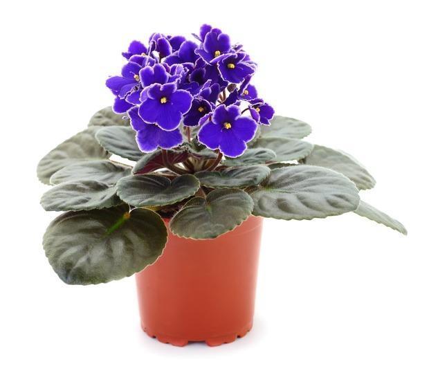 Violetta africana in vaso