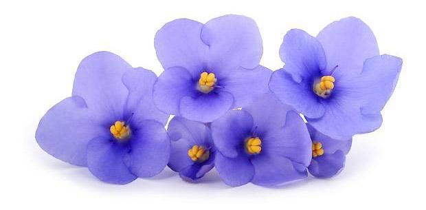 Violetta Africana Saintpaulia