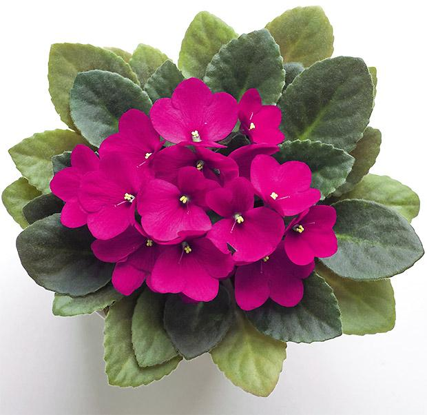 Violetta Africana fucsia