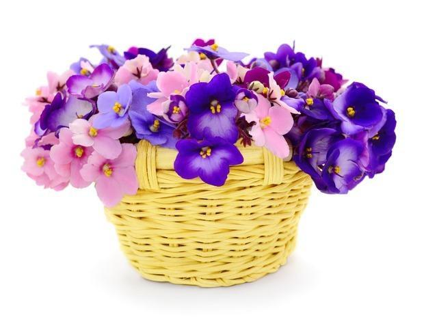 Violette Africane in cesto