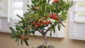 Coltivazione Pyracantha bonsai