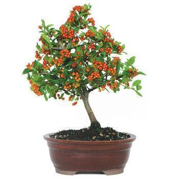 bonsai pyracantha