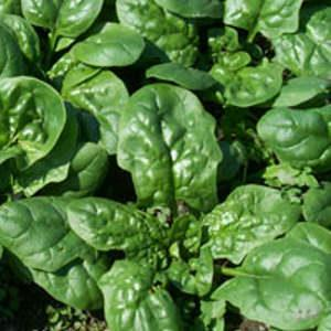spinaci in inverno