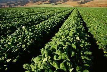 coltivazione degli spinaci