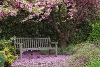 Ciliegi da fiore per piccoli giardini for Pianta di ciliegio