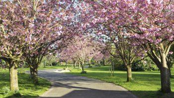 Ciliegi da fiore per piccoli giardini - Alberi adatti per viali ...