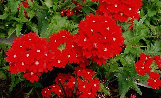 Verbena peruviana o Verbena chamaedrifolia