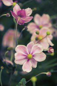 Anemone Giapponese in giardino perenne