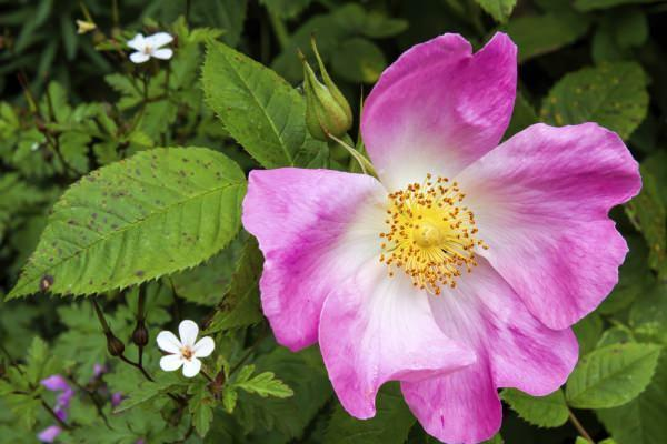 Fiore di Rosa canina in giardino perenne