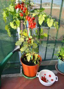 Pomodori coltivati sul balcone
