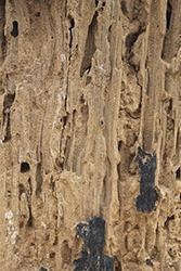 Esempio di legno con gravi danni da insetti xilofagi.