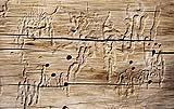 Danni causati da insetti xilofagi sulla superficie di un elemento strutturale in legno: sono evidenti i fori di entrata delle gallerie.