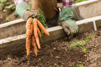 carote nell'orto di luglio