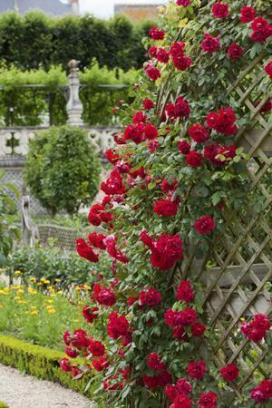 rose nel giardino di luglio