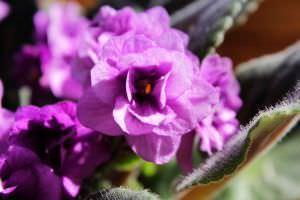 Terrazzo autunnale for Violetta africana