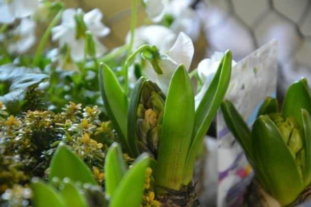 bulbi fioriti per Natale