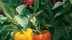 Coltivare il peperone in vaso
