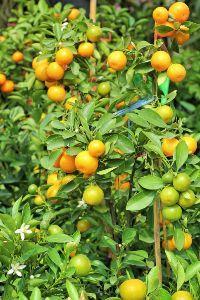 frutteto in terrazzo