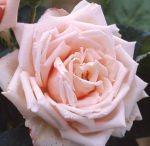 Piante in balcone - Rose Barni - La France
