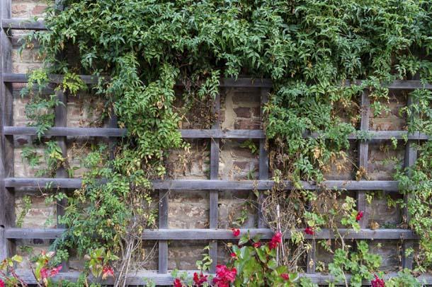 Coltivare le piante rampicanti for Pianta esterna