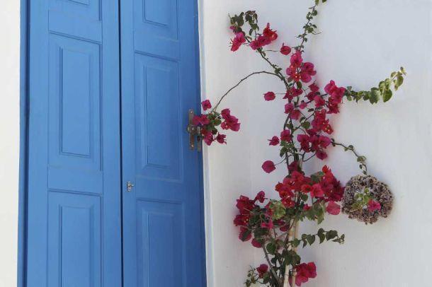 piante rampicanti: bouganvillea