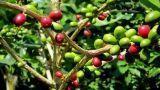 Coltivare la Coffea Arabica in casa