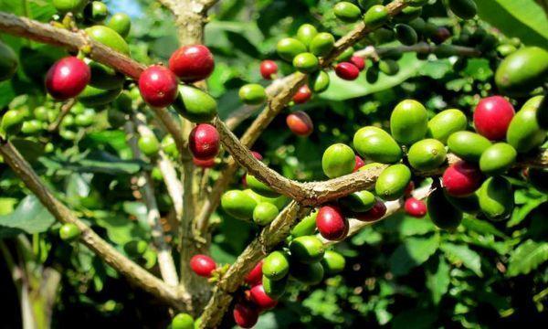 La coffea arabica