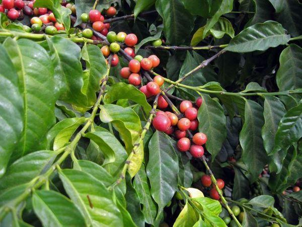 Frutti della  Coffea Arabica