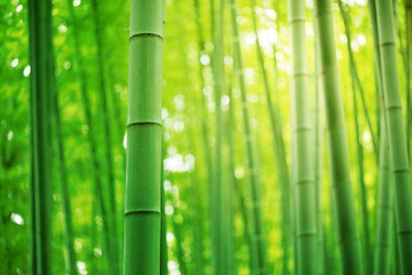 Pianta del bamboo