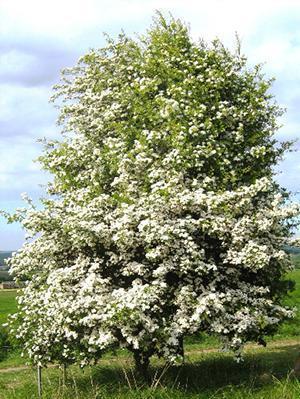 Elementi per la progettazione del giardino - Albero di Biancospino