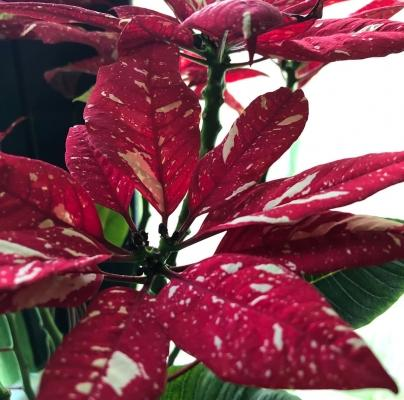 Stella di Natale variegata