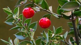Pungitopo: una pianta natalizia
