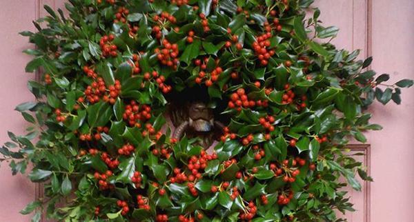 pungitopo una pianta natalizia