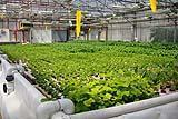 Coltivazione aeroponica, da Coltivazione indoor