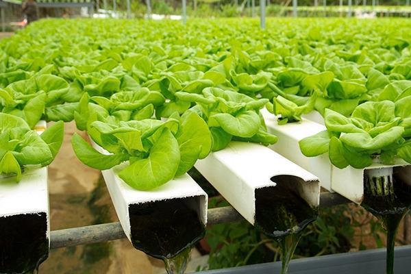 Metodo della coltivazione aeroponica, di Hydro invent