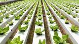 In che modo effettuare la coltivazione idroponica in casa
