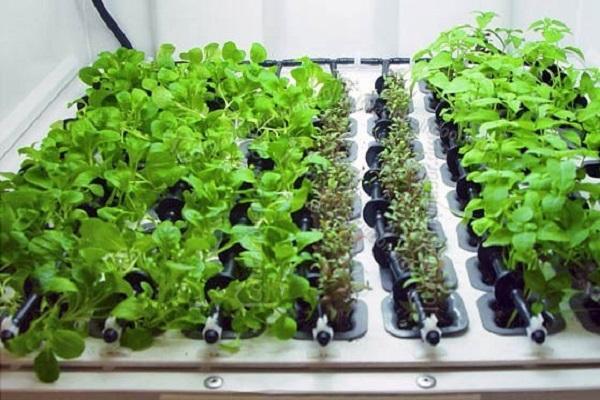 Piante in impianto idroponico