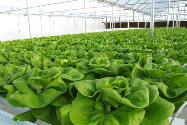 Sistema di coltivazione idroponica