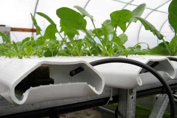 Foto coltivazione idroponica in casa - Coltivazione idroponica in casa ...