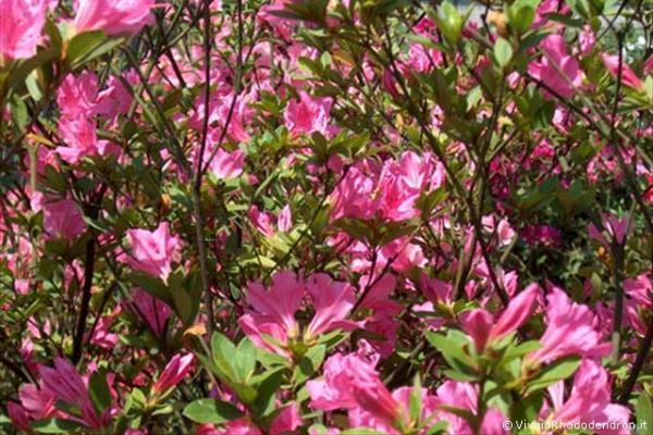 Azalea Indica del Vivaio Rhododendron