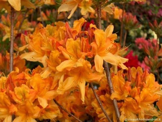 Azalea Mollis arancione del Vivaio Rhododendron