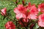 Azalea Indica rosa del Vivaio Rhododendron