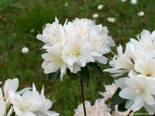 Azalea Japonica bianca del Vivaio Rhododendron