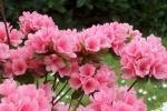 Azalea Japonica rosa del Vivaio Rhododendron
