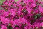 Azalea Japonica rosa vivo del Vivaio Rhododendron