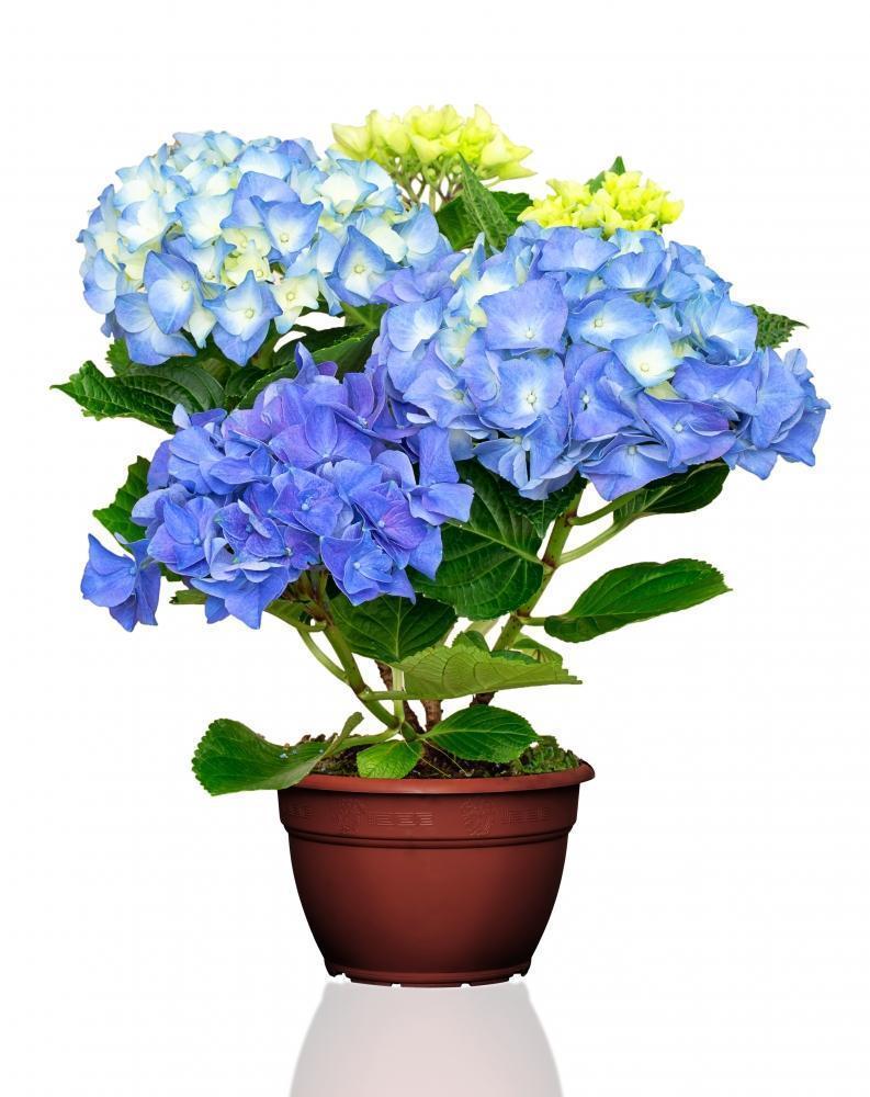 Vaso di ortensie blu