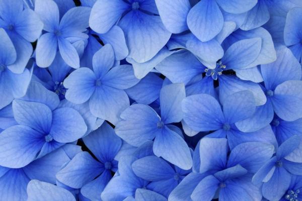 Particolare ortensie blu