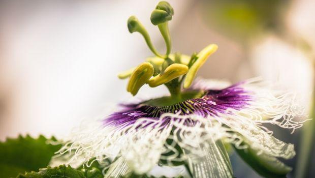 Passiflora: il frutto della passione