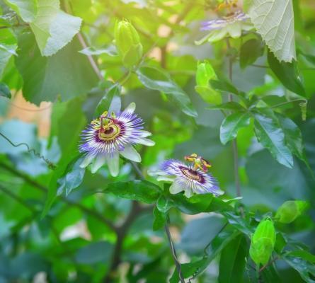 Pianta di passiflora cerulea
